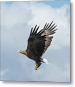 White-tailed Eagle With Fish Metal Print