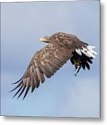 White-tailed Eagle With Lunch Metal Print