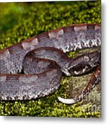White-tailed Hognose Viper Metal Print