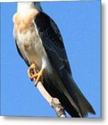 White-tailed Kite Metal Print