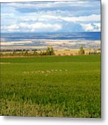 White Tails In The Field Metal Print