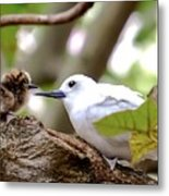White Terns Koa And Parent...bird Love Metal Print