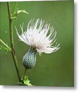 White Thistle Flower Metal Print