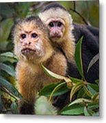 White-throated Capuchin Monkeys Cebus Metal Print