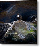 White-throated Dipper Nr 1 Metal Print