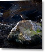 White-throated Dipper Nr 2 Metal Print