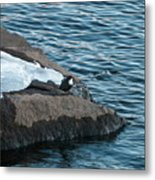 White-throated Dipper Nr 4 Metal Print