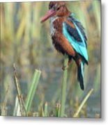 White-throated Kingfisher 13 Metal Print