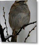 White Throated Sparrow Metal Print