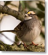White Throated Sparrow On Branch New Jersey Metal Print