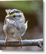 White Throated Sparrow Portrait Metal Print