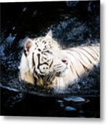 White Tiger 21 Metal Print