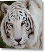 White Tiger Portrait Metal Print
