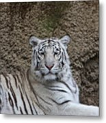 White Tiger Resting Metal Print