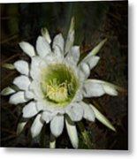 White Torch Cactus  Metal Print