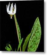 White Trout Lily Metal Print