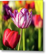 White Tulip Flower With Pink Stripes Metal Print