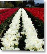 White Tulip Rows Metal Print