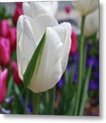 White Tulip With A Green Stripe In A Garden Metal Print