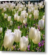 White Tulips In Bloom Metal Print
