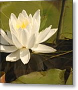 White Water Lily Metal Print