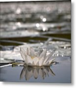White Waterlily 3 Metal Print