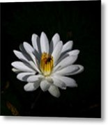 White Waterlily Metal Print by April Wietrecki Green