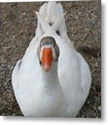 White Wild Duck Sitting On Gravel Metal Print