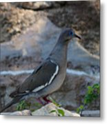 White Winged Dove Metal Print