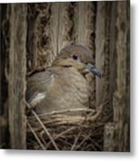 White-winged Dove - Nesting Metal Print