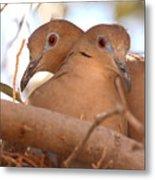 White-winged Doves In Lovebird Pose Metal Print