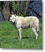 White Wolf 2 Metal Print