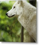 White Wolf Stare Metal Print
