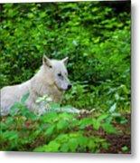 White Wolfe Metal Print