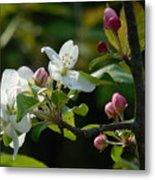 White Woodland Crabapple Flowers Metal Print