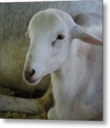White Wool Metal Print