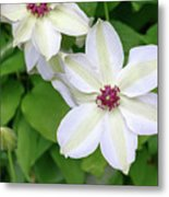 White, Yellow, And Purple Clematis Blossom Metal Print