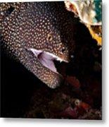 Whitemouth Moray Eel Metal Print