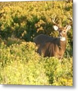 Whitetail Buck Metal Print