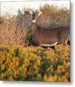 Whitetail Doe Metal Print