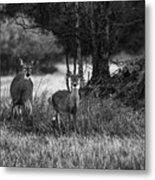 Whitetailed Deers Metal Print