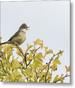 Whitethroat  Metal Print