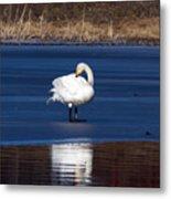 Whooper Swan 2 Metal Print
