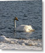 Whooper Swan Nr 3 Metal Print