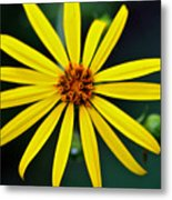 Whorled Rosinweed Metal Print