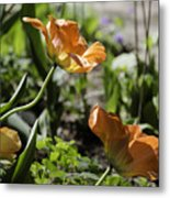 Wide Open Tulips Metal Print