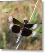 Widow Skimmer Dragonfly Male Metal Print