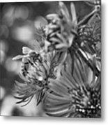 Wild Aster And Honey Bee Bw Metal Print