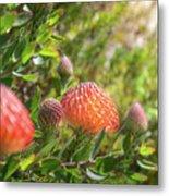 Wild Beautiful Telopea Flower In Sunset Light  Metal Print