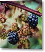 Wild Blackberries Metal Print